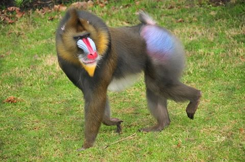 Image result for mandrill
