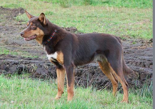austrian black and tan hound | Australian Kelpie | Petside - Dog Breeds | Cat Breeds | Pet Health