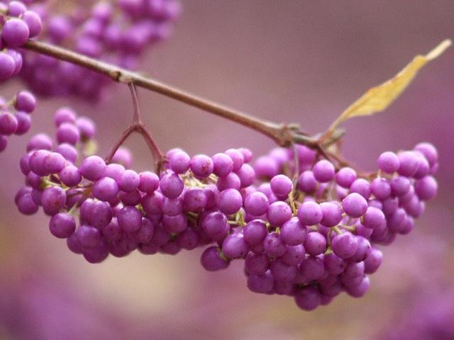 Beautyberries...    #autumn #garden #berry