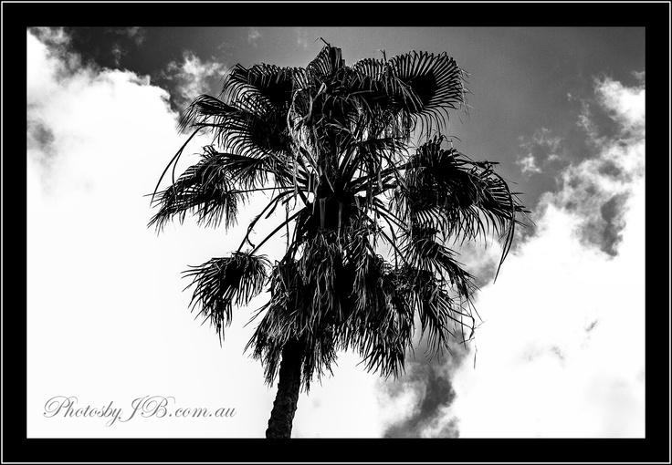 Palm Tree @ Palm Beach.