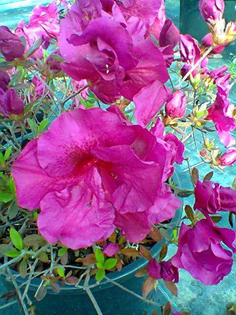 "Azalea da giardino oda bonsai ""Viola"""