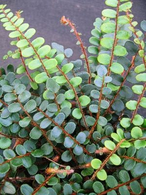 Button Fern (Pellaea rotundifolia) - to 10 inches, An upright-growing fern with small, rounded leaves that line its wiry, burgundy-red stems. Grows well in low light and average room temperature. A live plant in a three-inch pot - $10 each