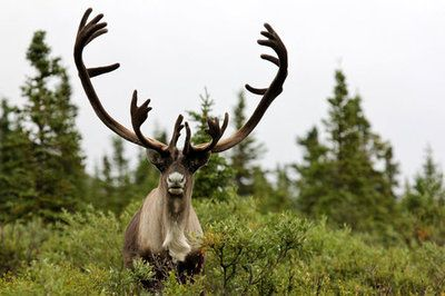 King of the Tundra di Jack-13