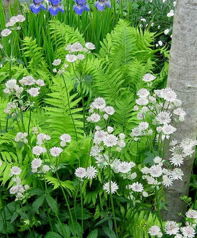 White astrantias with birch tree, ferns, and Siberian iris