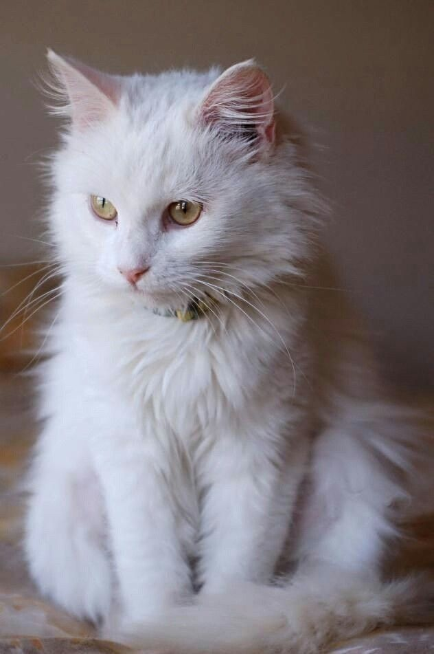 Beautiful Fluffy White Cat Beautiful Cats Cute Cats