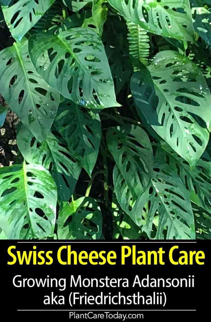 Monstera Adansonii Care: The Swiss Cheese Plant Friedrichsthalii