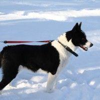 #dogalize Razze cani: il cane da Orso della Carelia, origini e carattere #dogs #cats #pets