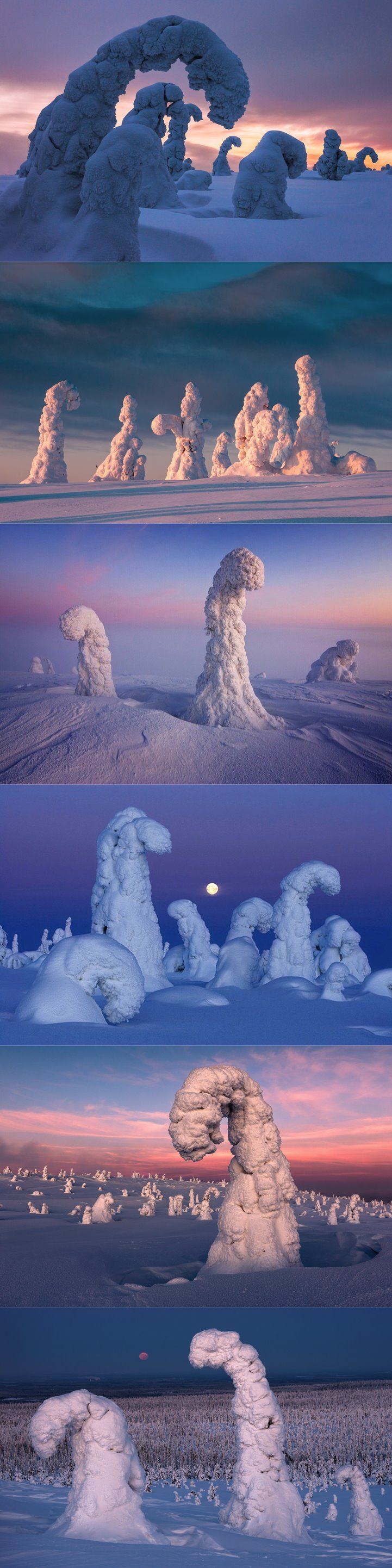 Siberian spruce trees in Finland's riisitunturi national park become covered a hard rime known as tykky as supercooled water droplets in fog freeze to the windward side of their branches. some trees can collect as much as three to four tonnes of this white ice, which is less dense than the familiar clear ice.