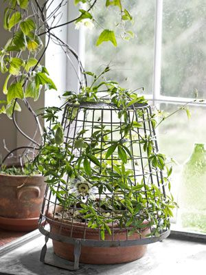 Passionflower Most gardeners think of vines as outdoor athletes, ready to be trained up exterior fences and walls. But climbers can also soften windows inside, so long as you provide them with something to scale (a few nails and fishing wire will do the trick).