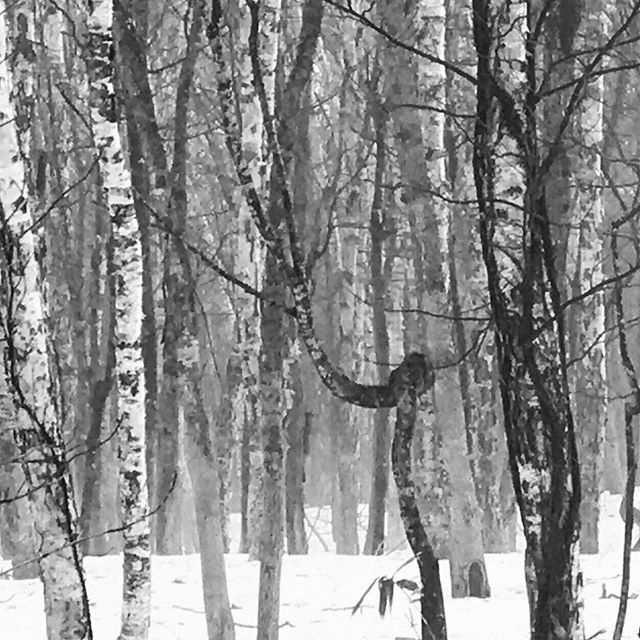 #walkinthewoods #shirakaba #birch #treeart #morningwalk #shinrinyoku #naturalmedicine #forestbathing #freshair #phytoncide #pure #niseko #ryokan #countryretreat #visitjapan  | zaborin.com
