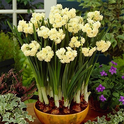 Narcissus Bulbs Erlicheer from American Meadows, your trusted source for Paperwhite Flower Bulbs.  We offer gardeners guaranteed Narcissus Bulbs Erlicheer and all the information and confidence needed to succeed.