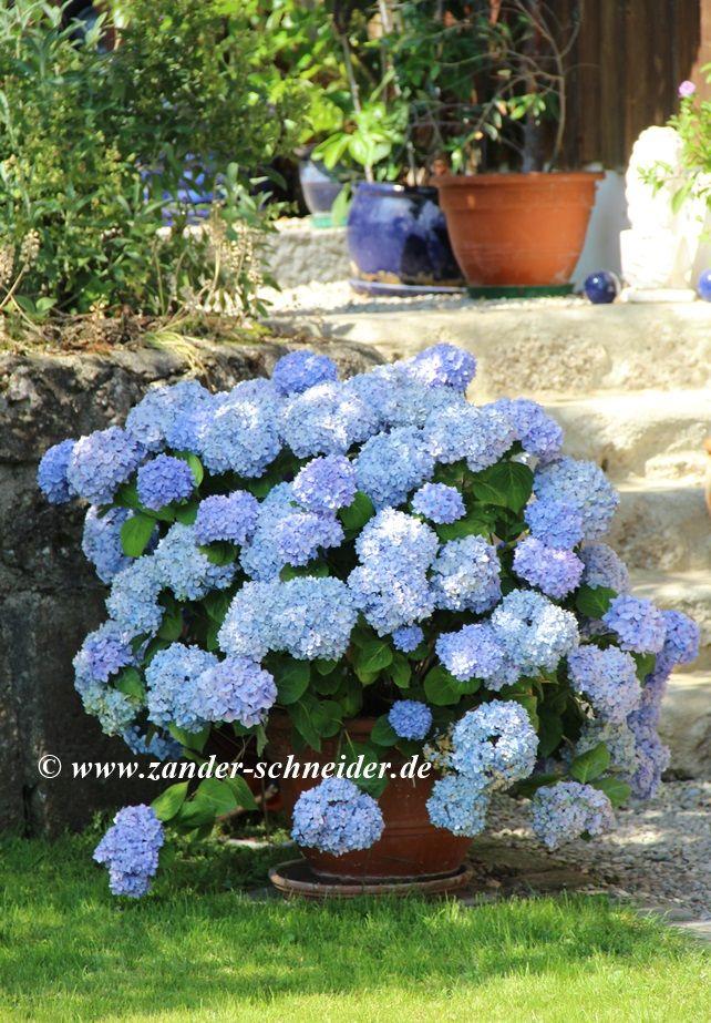 die besten 25 blaue hortensie ideen auf pinterest hortensien wei ins blaue und hortensien. Black Bedroom Furniture Sets. Home Design Ideas