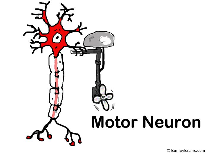 Best 25 motor neuron ideas on pinterest cut out shapes for Motor neurone disease causes