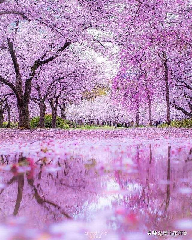 Pin By Nikki Lamb On Flowers Cherry Blossom Japan Sakura Tree Sakura Painting