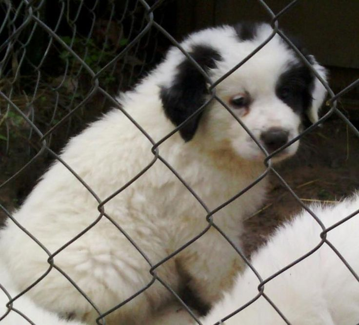 5 28 16 Pictures Of Black N White Guy A Great Pyrenees Labrador