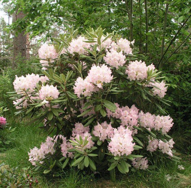 Rhododendron - alppiruusu 'Mikkeli' ('St Michel')
