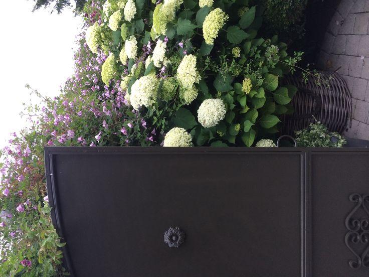 #hydrangea 'Annabelles' www.filroses.com