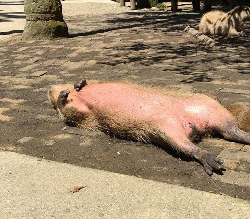 「カピバラだと思います」 動物園も困惑するほどリラックスしたカピバラさんに注目 - ねとらぼ