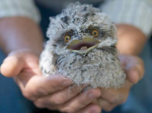 Tawny Frogmouth chick at Taronga zoo in Australia. They have these at many zoos. Always delightful.