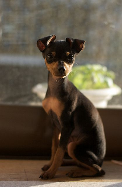 min pin-I used to have one of these. They are so bad but so cute!