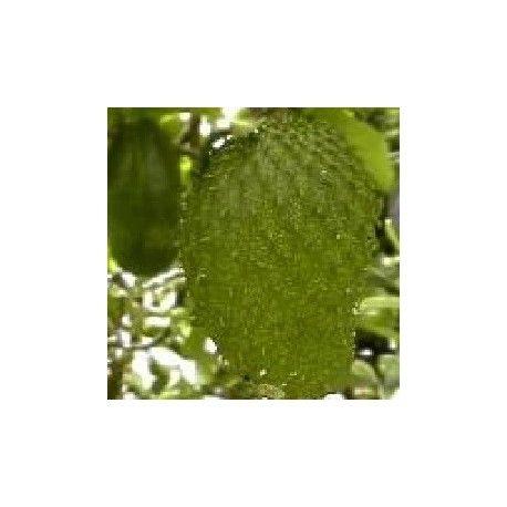 Annona cherimola, graines d'ANONE ou CHERIMOYA à faire pousser en pot bac ou sous serre. Arbre fruitier exotique produisant d'excellent fruits. #anone #annone #cherimoya #annona #graine #semis #semence #fruits