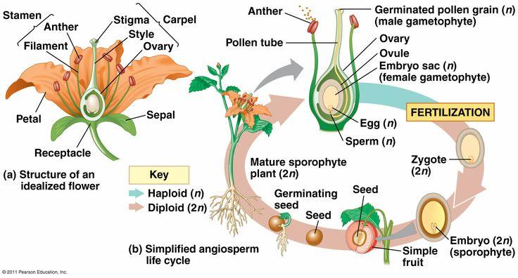 angiosperm reproduction biology 4b pinterest plants. Black Bedroom Furniture Sets. Home Design Ideas
