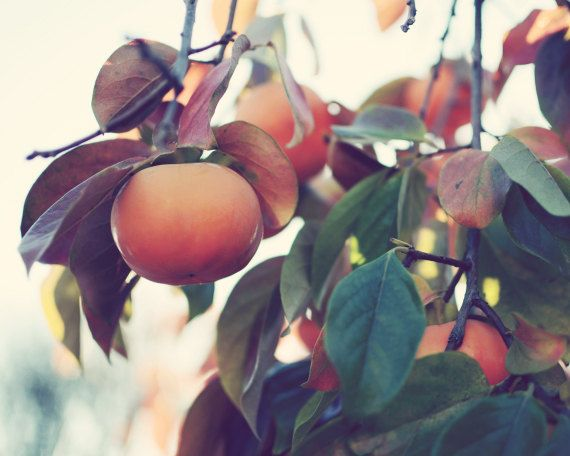 "Nature photography - Persimmon fruit tree - orange green autumn harvest California fruit - fine art nature photography  ""Persimmon tree"""