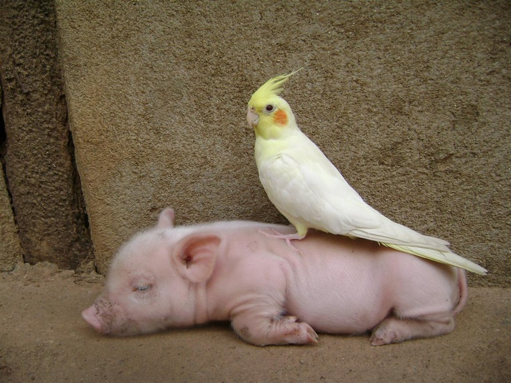 It's a Cockatiel on a piglet. If this doesn't warm your soul, there's something…