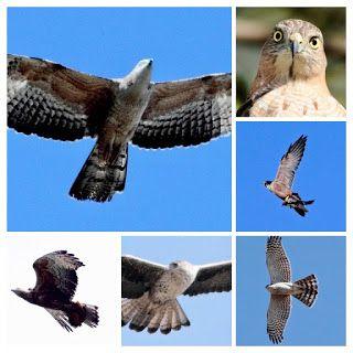 MOUNT ABU BIRDS  MY PERSONAL COLLECTION: Photo Gallery Raptors of Mount Abu  mountabubirds....
