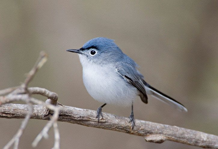I want to see one! too cute - a blue gray gnatcatcher