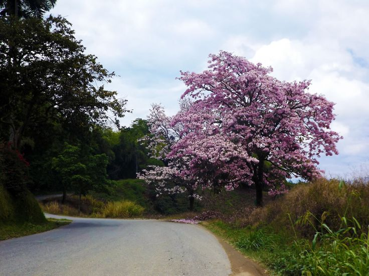 Guayacan crece a borde de carretara aledaña. ¿Necesitas fotos como esta para el contenido de tu web? Visita: www.laweb.com.co/contenido-web/
