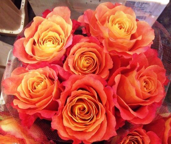Rose Free Spirit - Bloomfield