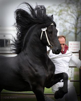 Sipke 450 at the Friesian Connection. . .Saw a video of this stallion and FELL IN LOVE.