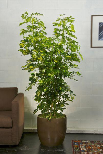 Variegated Arboricola Column Plants Of The Tropics 400 x 300