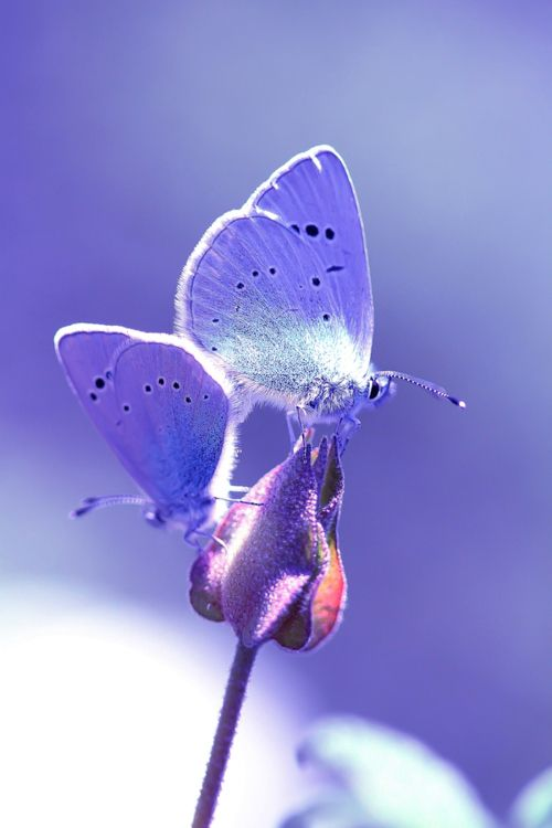 """""""Blues lovers.."""" by camille malleroni :)Beautiful Butterflies, Blue Lovers, Beautiful Blue, Amazing Photography, Camps Inspiration, Stamps Camps, Camille Malleroni, Things Blue, Butterflies Beautiful"""