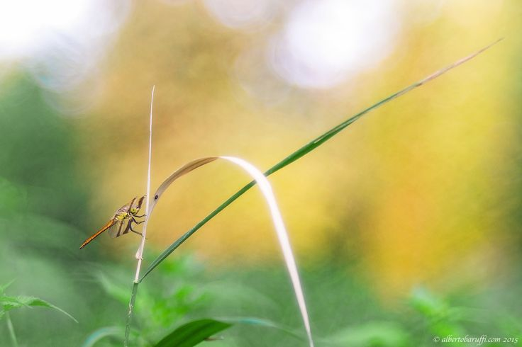 Dragonfly by Alberto Baruffi on 500px