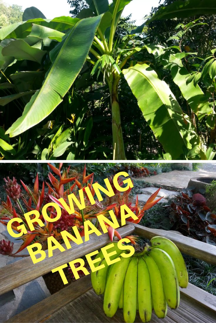 String of bananas plant care - Best 25 Banana Plant Care Ideas On Pinterest Money Plant Care Chinese Money Plant And Banana Growing