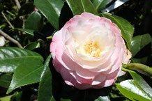 camellia, grow camellia, prune camellia, plant camellia flower, camellia japonica, camellia sasanqua, camellia reticulata, camellia x williamsii,