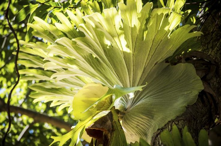 How to Propagate a Staghorn Fern