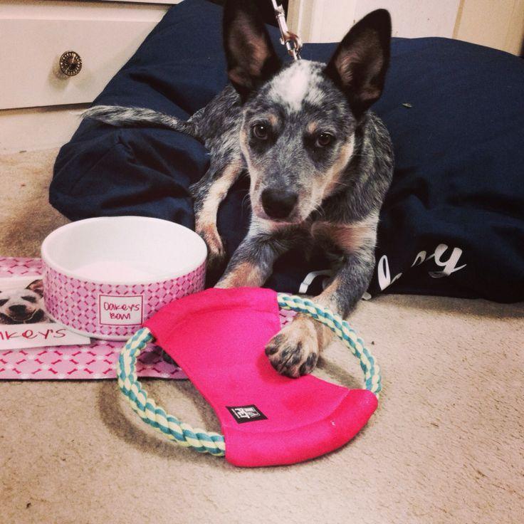 Oakey working pup kelpie winner of LifeStyle rate my pet IdPet package.