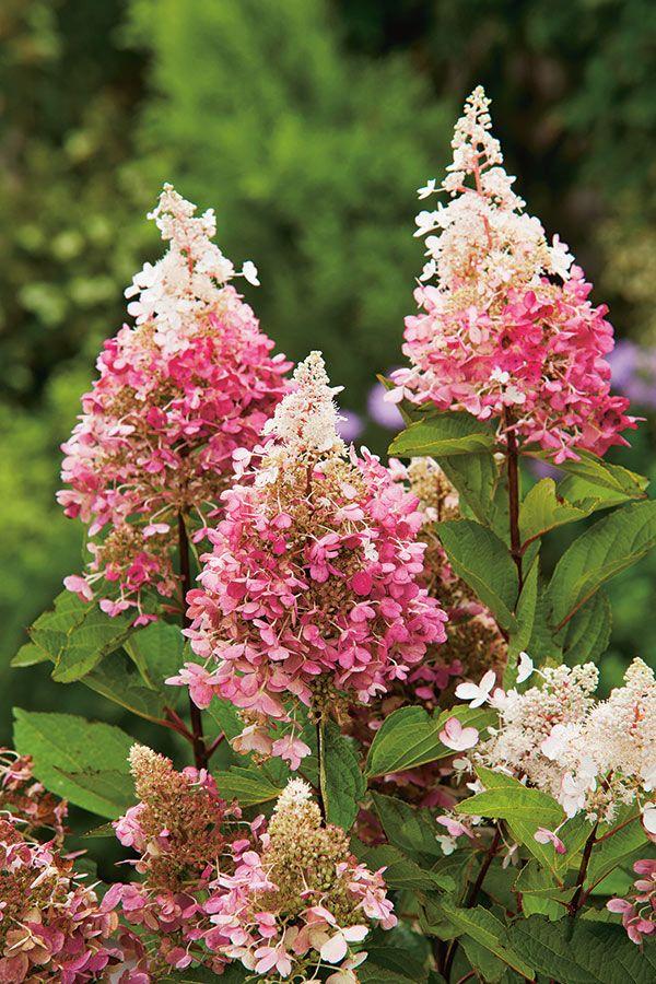 Ken jij iemand die Pluimhortensia's heeft staan? Vraag dan om het snoeiafval zodat je kan stekken. Ze mogen vanaf deze tijd worden gesnoeid. Zo zet je gratis je tuin vol prachtige bloemen.