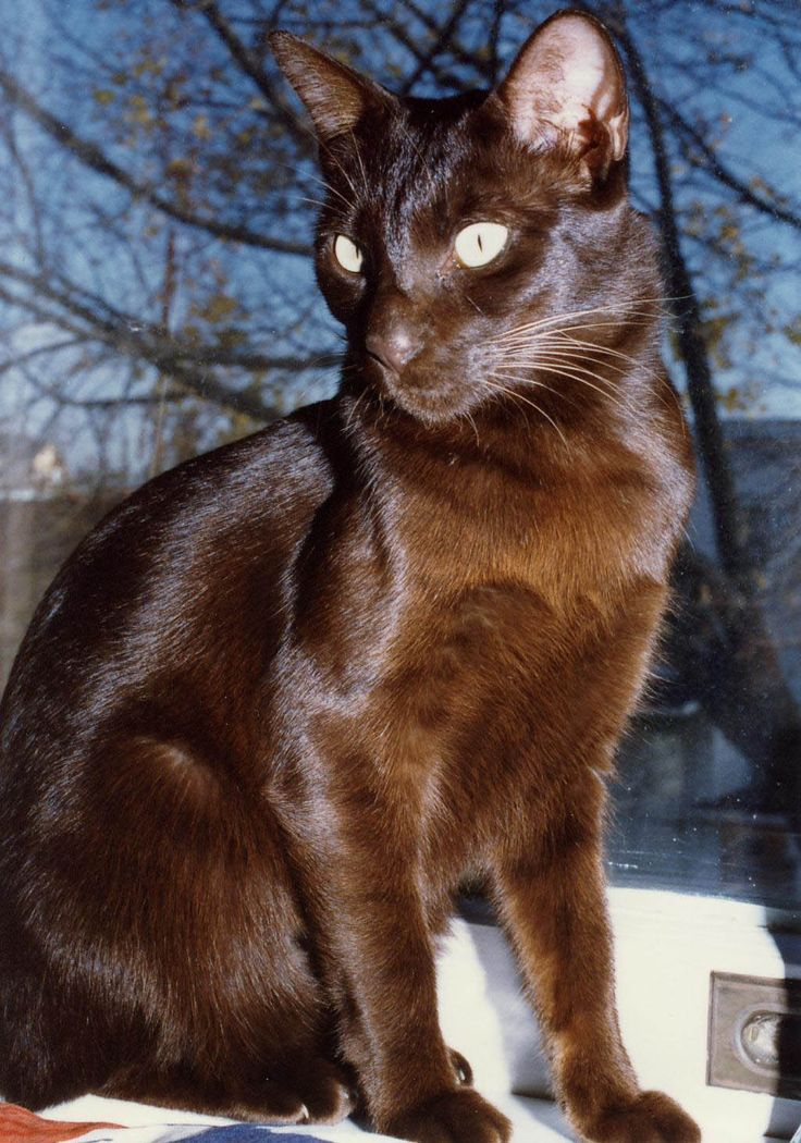 The Havana Brown Is More Distinctive Than The Muzzle Ears, Or Minklike Coat Is The Personality.