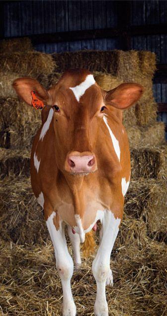 """""""Miss Elsie"""" poseert voor de camera. Meer over koetjes en kalfjes? Ga naar: http://www.milkstory.nl/artikel/van-koeiendans-naar-koeienuitzwaaidag"""