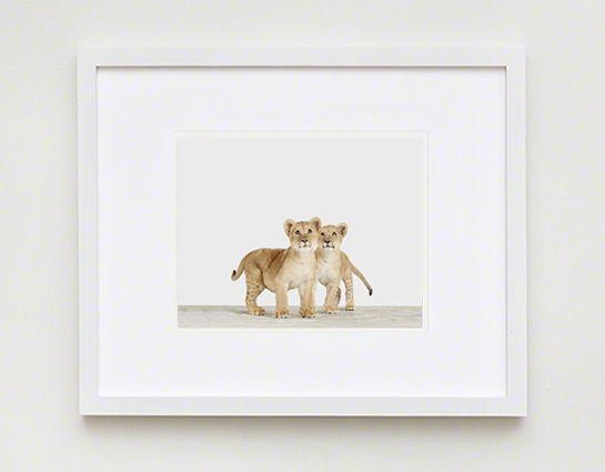 Lion Cub Twins | Sharon Montrose | The Animal Print Shop | Baby Animal Photography Prints