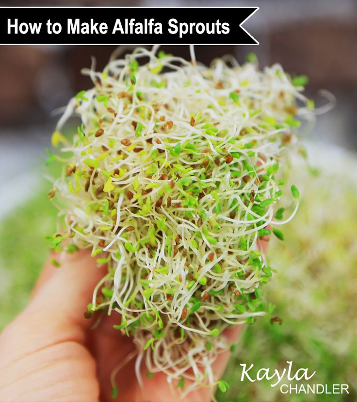 Grow Your Own Alfalfa Sprouts - Sprouting 101 #Sprouts
