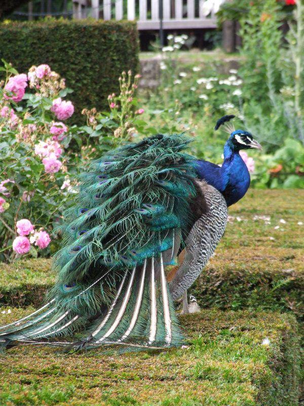 Warwick Castle's Peacock Garden - Warwickshire, England