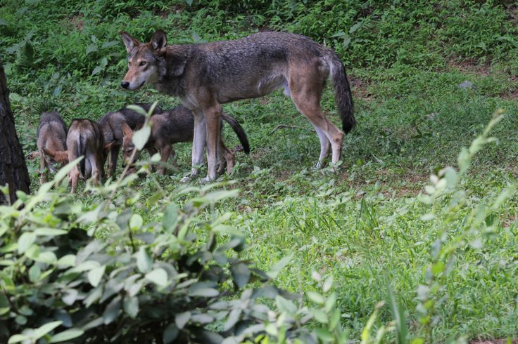 Red wolf pups enjoying a meal delivered to them by their father. Museum of Life and Science, Durham, NC