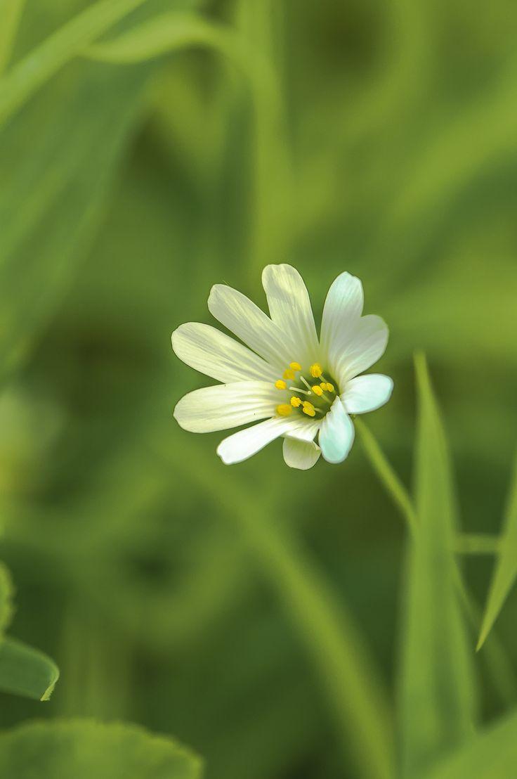 a flower by Graziella Serra Art & Photo on 500px