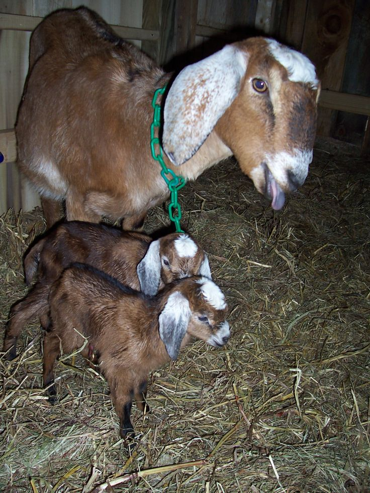 BRIAR MTN FARM NUBIAN DAIRY GOATS FOR SALE IN ROCKY MOUNT ...