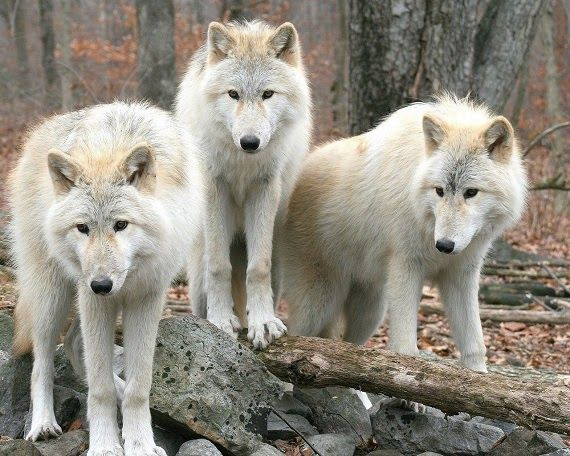 yellowstone white wolf - AOL Image Search Results